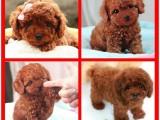 佛山狗场出售多个宠物品种 纯种泰迪犬 品质好纯血统健康签协议