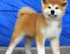 自家大狗生的一窝秋田犬可以来家里看大狗品相