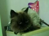 十个月喜马拉雅猫