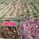 紫菀紫菀苗种植技术