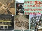 近期杂交野兔价格、杂交野兔种兔批发