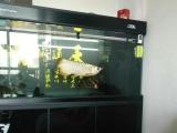 出150彩蝶鱼缸,出50公分全金盔金龙