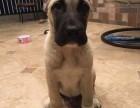 圣伯纳犬格力幼犬阿根廷杜高犬