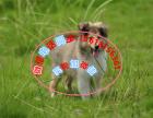 本地出售纯种苏格兰牧羊犬 健康保障 可上门挑选