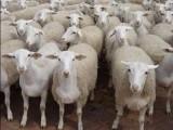 肉羊快速催肥的关键 优农康肉羊育肥秘诀