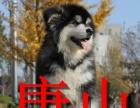 路北区阿拉斯加雪橇犬销售,唐山市可以送货,视频挑选,签协议