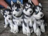 纯种哈士奇 哈士奇犬 品相一流 包健康 价格优惠