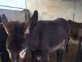 抗战老兵养殖场【大量出售】肉驴苗 德州驴 华北驴