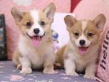 东莞 本地出售柯基幼犬狗狗包健康纯种售后无忧