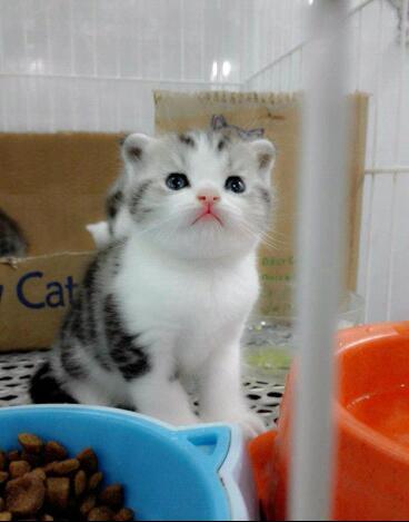 短毛英短 美短 专注养殖猫舍 常年出售