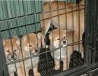 纯种柴犬 柴犬幼犬保证纯种健康 终身质保 饲养指导