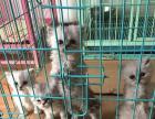 出售家养繁殖金吉拉猫崽崽一堆