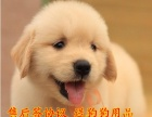 大头美系金毛幼犬可以送货到家挑选 优惠中 正规狗场