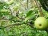 批发天香木瓜苗批发 番木瓜树苗南方北方种植 蒙山木瓜苗品种多