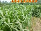 批发养殖业牧草种子高丹甜高粱 狼尾草