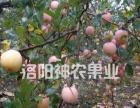 洛宁苹果采摘园