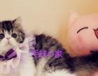 毛球の家加菲猫名猫后代家养纯种红白纯白黑白起司猫色