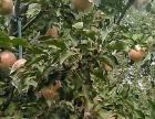 九吉乡哺子村苹果采摘园