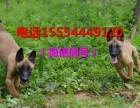 比特犬幼犬图片精品的和梁山犇发犬业 小比特犬价格