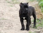 纯种卡斯罗犬价格 纯种卡斯罗犬多少钱