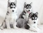 超帅气赛级哈士奇幼犬 多种颜色可选 优选品质保障