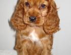 银川 出售2到4个月可卡犬 包健康纯种!