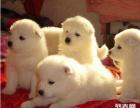 自家一窝马尔济斯幼犬免费找人领养,公母都有