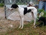 格力犬多少钱一只,哪里出售猎兔犬幼犬,怎么驯养猎兔犬