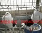 常年出售红跟头,黑跟头,白跟头,燕子鸽,黑细花淑女鸽,喜鹊等