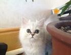 出售纯种可爱雪白漂亮金吉拉猫咪健康保证欢迎上门