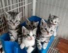 16斤大体纯血统蓝猫种公对外借配