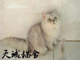 純種金吉拉,貓舍繁殖,健康純種,品質保障