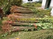 香椿芽苗厂家大棚用香椿苗价格