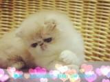 潮州哪里有波斯猫卖 纯种 无病无廯 协议质保