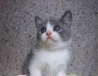 精品家庭繁育式猫舍出售靠谱纯种英短蓝猫加菲猫等各类