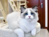 正規養殖基地自家繁育直銷純種布偶貓寶寶