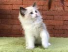 波兰纯正血统空运回国各色布偶猫出售,海双,重点等