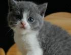 柠檬猫舍英国短毛猫小母猫妹妹正八字粉鼻子