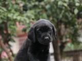 高品质双血拉布拉多幼犬,大骨量,随时可以看狗可送货