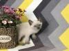 出售泰国皇家猫咪暹罗