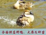 安徽大雁养殖基地-大雁养殖-养殖大雁-大雁苗-鸿雁苗