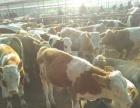 忻州肉牛良种厂较新小牛价格