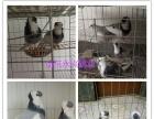 玉林观赏鸽元宝鸽肉鸽养殖场