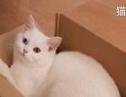 白色宠物短毛猫