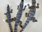 新鲜鳄鱼鳄鱼肉出售孔雀鸵鸟