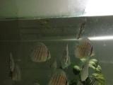 出组缸小鱼缸七彩大鱼小苗