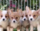 北京出售 柯基犬 保纯种 三针疫苗齐全 健康血统有保障