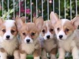 北京出售 柯基犬 保純種 三針疫苗齊全 健康血統有保障