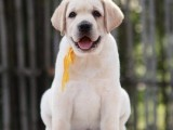佛山拉布拉多犬小狗价格 在佛山住小区能养拉布拉多犬吗