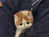自自家繁殖CFA纯种黄白加菲猫 驱虫疫苗齐 带证书